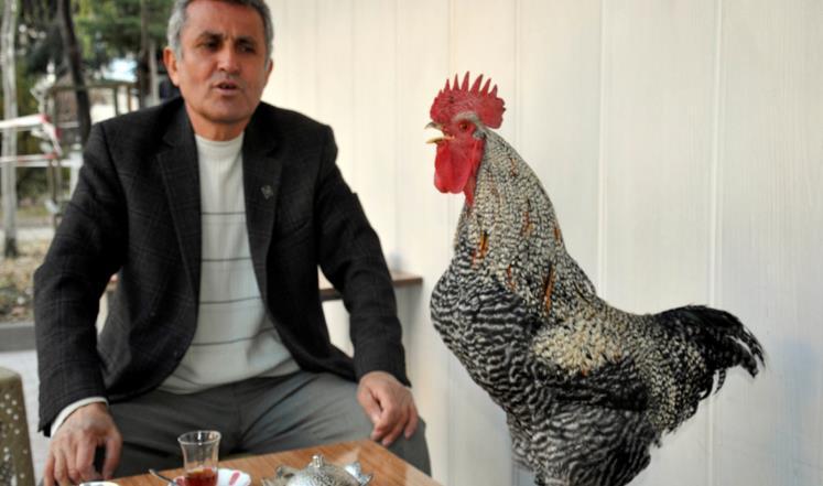 Turkish retiree and his rooster, Chili Shalabi and Chili (photo credit: Anadolu Agency)